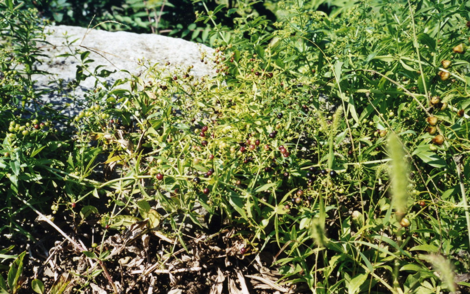 Rubia Tintórea - Planta